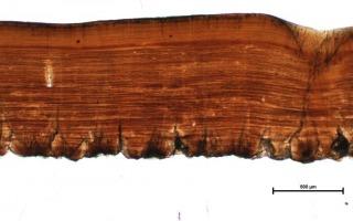 קטע מקליפת הביצה של דינוזאור מהמין טרודון. באדיבות דרלה זלינסקי